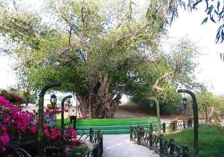 درخت مقدس 600 ساله در جزیره کیش